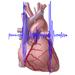 Zvuky srdca